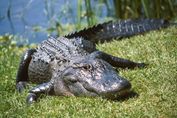 An alligator at the University of Florida's Lake Alice.